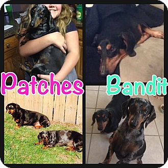 Dachshund Dog for adoption in Grand Bay, Alabama - Patches and Bandit