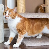American Shorthair Cat for adoption in Santa Monica, California - Oscar