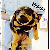 Adopt A Pet :: Felicia - Tampa, FL