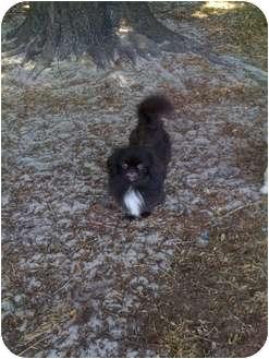 Pekingese Mix Dog for adoption in Orlando, Florida - Baby