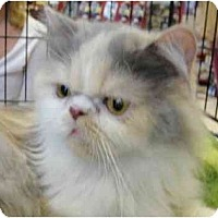 Adopt A Pet :: Cleopatra - Beverly Hills, CA