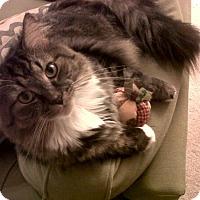 Adopt A Pet :: Taz - Reston, VA