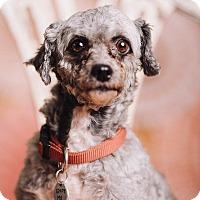 Adopt A Pet :: Sabrina - Portland, OR