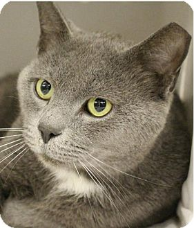 Domestic Shorthair Cat for adoption in Herndon, Virginia - Shade