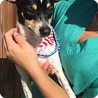 Adopt A Pet :: Taz - Norwalk, CT