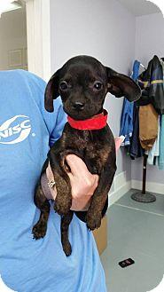Terrier (Unknown Type, Small) Mix Puppy for adoption in Hawk Point, Missouri - Jan