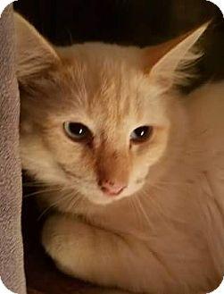 Ragdoll Cat for adoption in Ennis, Texas - Saga