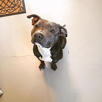 Pit Bull Terrier Mix Dog for adoption in Lehigh Acres, Florida - Amarra