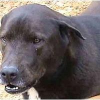 German Shorthaired Pointer Mix Dog for adoption in Tyler, Texas - L-Stevie Wonder