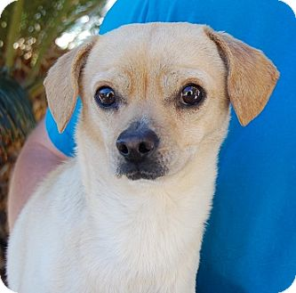 Las vegas nv chihuahua mix meet goldie a dog for adoption for Dog rescue las vegas nv