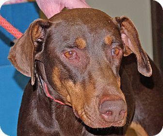 Doberman Pinscher Mix Dog for adoption in Spokane, Washington - Disney