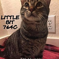 Adopt A Pet :: Little Bit - Spring, TX