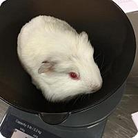 Adopt A Pet :: Pop Pig (Bonded w/ Iggy) - Redmond, WA