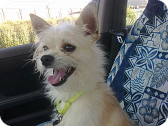 Chihuahua/Terrier (Unknown Type, Small) Mix Dog for adoption in Cumberland, Maryland - Leo
