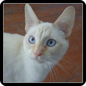 Siamese Cat for adoption in Bedford, Virginia - Michaela FIV+