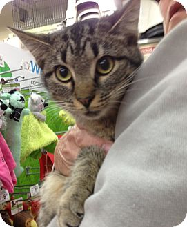 Domestic Shorthair Cat for adoption in Troy, Ohio - Muffin