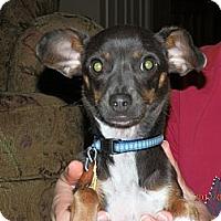 Adopt A Pet :: Blu - Commerce City, CO