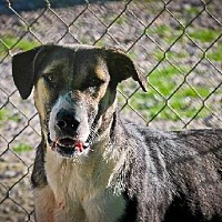 Labrador Retriever/Australian Shepherd Mix Dog for adoption in Pembroke, Georgia - Mandy
