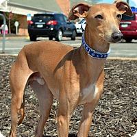 Adopt A Pet :: Quick-Adoption pending - Bridgeton, MO