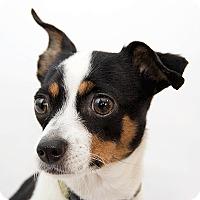 Adopt A Pet :: Bebe - Cumberland, MD