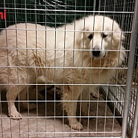 Great Pyrenees Dog for adoption in Newnan, Georgia - Yanni