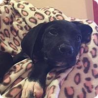 Adopt A Pet :: Molly - Tampa, FL