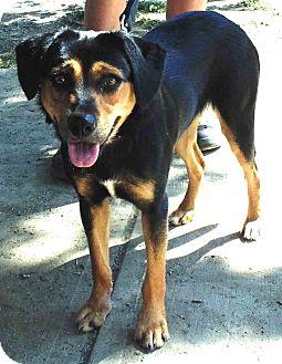 Hound (Unknown Type)/Rottweiler Mix Dog for adoption in Washington court House, Ohio - Daisy