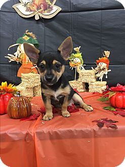 Blue Heeler/Terrier (Unknown Type, Small) Mix Puppy for adoption in Columbus, Ohio - A - PUPPIES GALORE