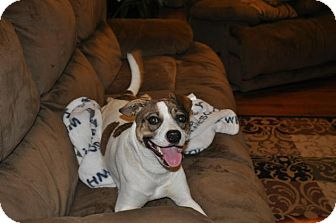 Pointer Mix Dog for adoption in DuQuoin, Illinois - Trudy