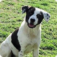 Adopt A Pet :: Susie - Naugatuck, CT