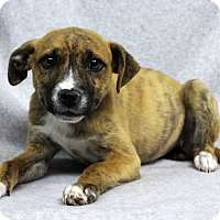 Adopt A Pet :: Deb - Westminster, CO