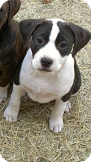 Terrier (Unknown Type, Medium)/Pit Bull Terrier Mix Dog for adoption in Spring Branch, Texas - Oreo