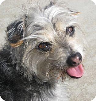 Maltese/Yorkie, Yorkshire Terrier Mix Dog for adoption in San Diego, California - Taco