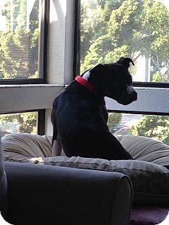 American Pit Bull Terrier/Labrador Retriever Mix Dog for adoption in San Diego, California - Loreal