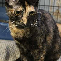Domestic Shorthair Cat for adoption in Yukon, Oklahoma - Destiny