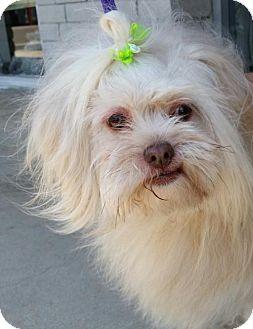 Löwchen Dog for adoption in REDDING, California - Caesar