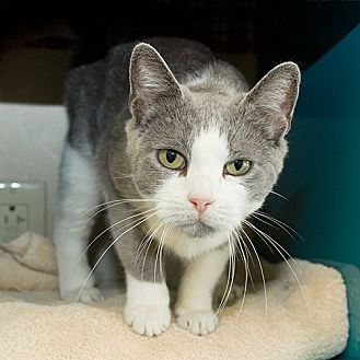 Domestic Shorthair Cat for adoption in Wilmington, Delaware - Flower