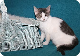 Domestic Shorthair Cat for adoption in Marietta, Ohio - Oprah (Spayed)