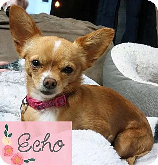 Chihuahua Mix Dog for adoption in Barriere, British Columbia - Echo