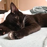 Adopt A Pet :: Pancake - Carlisle, PA