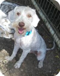 Poodle (Miniature)/Schnauzer (Miniature) Mix Dog for adoption in Lockhart, Texas - Barkley