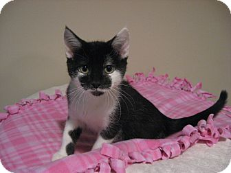 Domestic Shorthair Kitten for adoption in Eagan, Minnesota - Madison