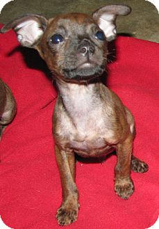 Boston Terrier/Chihuahua Mix Puppy for adoption in Somers, Connecticut - Rio - READY TO FIND HIS HOME!