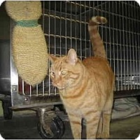 Adopt A Pet :: Little Joe - Lombard, IL