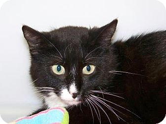 Domestic Shorthair Cat for adoption in Westville, Indiana - Boots