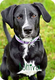 Labrador Retriever Mix Dog for adoption in Pleasant Plain, Ohio - Nhira