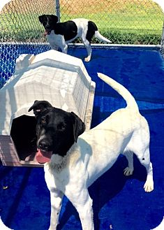 Pointer Mix Dog for adoption in New Kent, Virginia - Pepper, Pointer mix