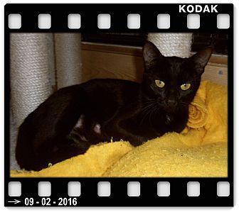 Domestic Shorthair Cat for adoption in Medford, Wisconsin - MILA