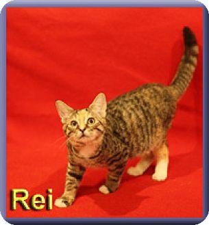Domestic Shorthair Kitten for adoption in Aldie, Virginia - Rei