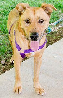 Labrador Retriever Mix Dog for adoption in Midlothian, Virginia - George